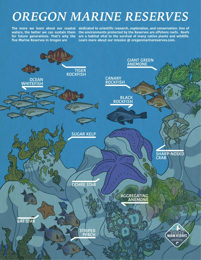 """An illustrated poster, depicting a number of plants and animals living on a rocky reef. All of the animals and plants are labelled. The labels read: """"Ocean whitefish, tiger rockfish, giant green anemone, canary rockfish, black rockfish, sugar kelp, sharp-nosed crab, ochre star, aggregating anemone, bat star, striped perch."""" Up in the lower right corner is the logo of the Oregon Marine Reserves. On the top of the poster is text. It reads: """"Oregon Marine Reserves: The more we learn about our coastal waters, the better we can sustain them for future generations. That's why the five Marine Reserves in Oregon are dedicated to scientific research, exploration, and conservation. One of the environments protected by the Reserves are offshore reefs. Reefs are a habitat vital to the survival of many native plants and wildlife. Learn more about our mission @oregonmarinereserves.com."""""""